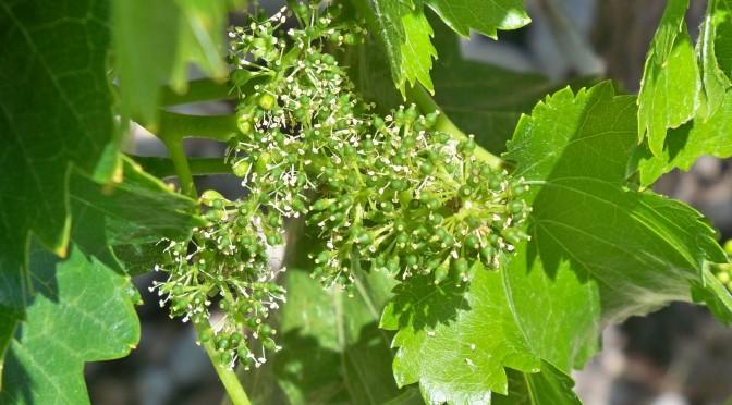La flor de la uva