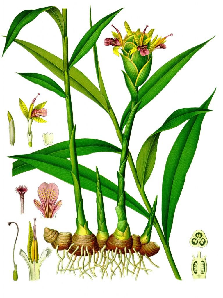 Aquí vemos la planta y el rizoma